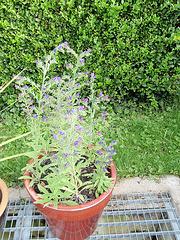 echium vulgare P6192123