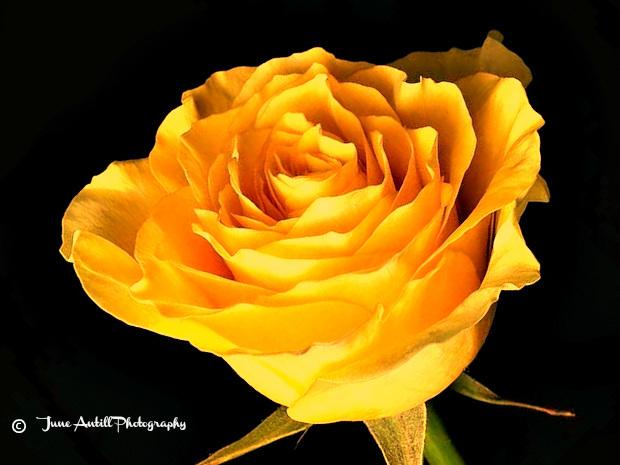 A single  yellow  rose