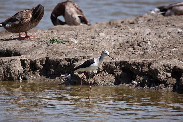 20110530 4568RTw [F] Stelzenläufer, Ente, Parc Ornithologique, [Camargue]