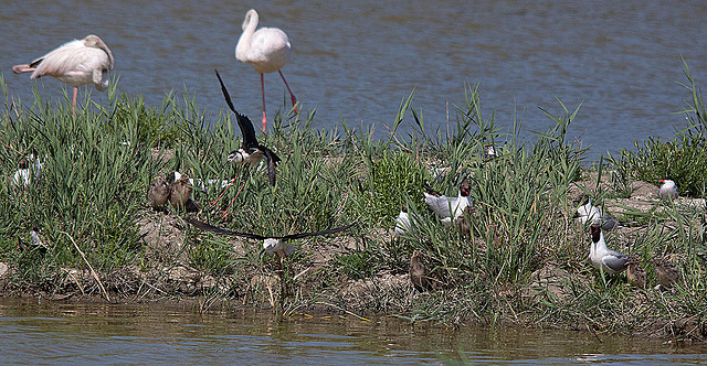 20110530 4566RTw [F] Stelzenläufer, Lachmöwe (Chroicocephalus ridibundus), Zwergseeschwalbe, Nachwuchs, Flamingo [Camargue]