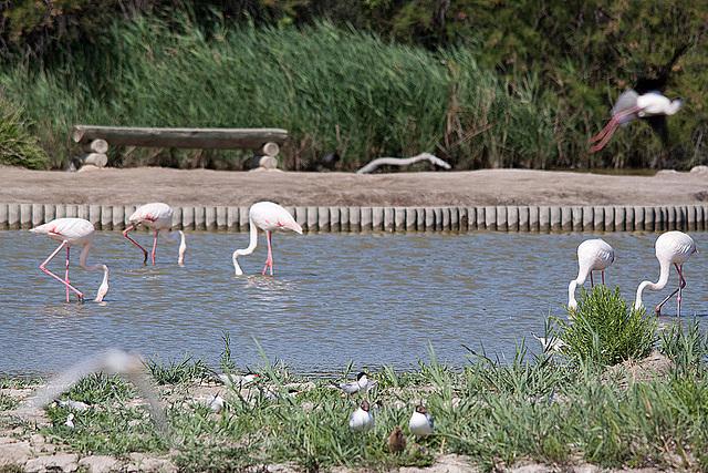 20110530 4565RTfw Flamingo, Zwergseeschwalbe, Stelzenläufer [Camargue]