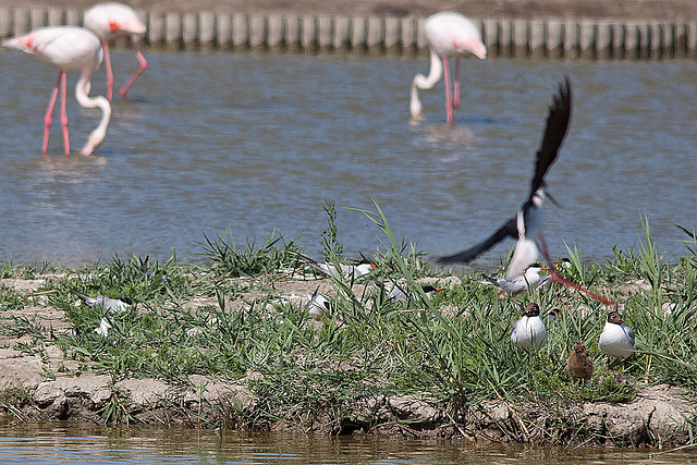 20110530 4561RTw [F] Lachmöwe (Chroicocephalus ridibundus) mit Nachwuchs, Flamingo, Stelzenläufer [Camargue]