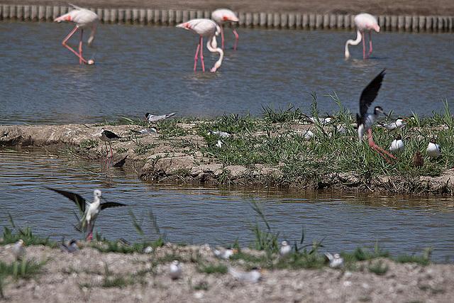 20110530 4560RTw [F] Lachmöwe (Chroicocephalus ridibundus) mit Nachwuchs, Flamingo, Stelzenläufer [Camargue]