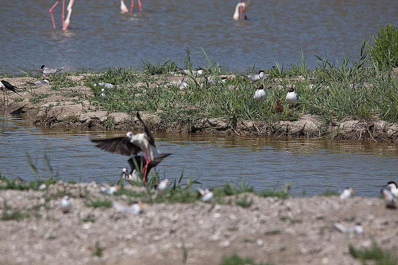 20110530 4552RTw [F] Lachmöwe (Chroicocephalus ridibundus) mit Nachwuchs, Stelzenläufer [Camargue]