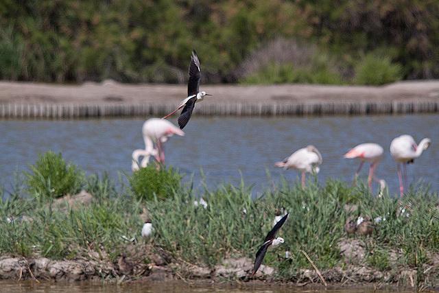 20110530 4548RTw [F] Stelzenläufer, Lachmöwe (Chroicocephalus ridibundus), Flamingo [Camargue]