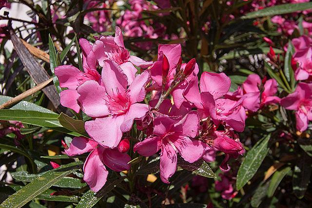 20110529 4048RWfw Oleander [Le Grau du Roi]