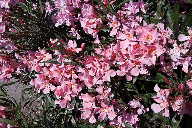 20110529 4047RWfw Oleander [Le Grau du Roi]