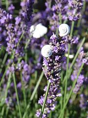 ***Schnecken im Lavendel