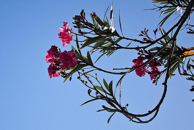 20110529 4045RWfw Oleander [Le Grau du Roi]