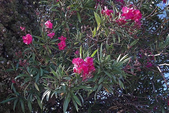 20110529 4044RWfw Oleander [Le Grau du Roi]