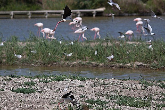 20110530 4536RTw [F] Stelzenläufer, Lachmöwe (Chroicocephalus ridibundus), Flamingo [Camargue]