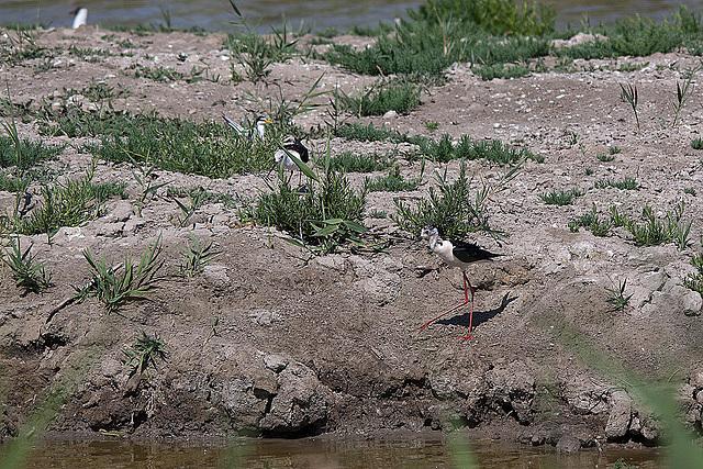 20110530 4530RTw [F] Stelzenläufer, Seeschwalbe, Parc Ornithologique [Camargue]