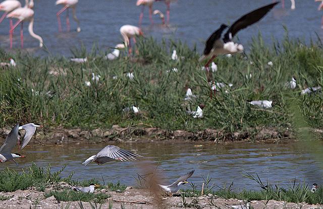 20110530 4529RTw [F] Seeschwalbe, Lachmöwe (Chroicocephalus ridibundus), Parc Ornithologique [Camargue]