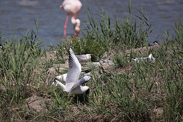 20110530 4523RTw [F] Lachmöwe (Chroicocephalus ridibundus), Flamingo [Camargue]