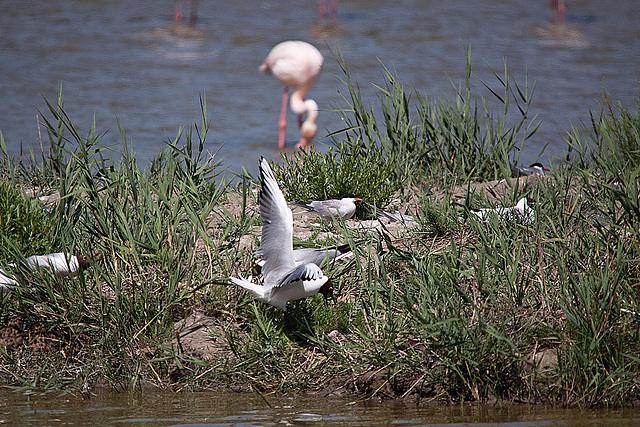 20110530 4522RTw [F] Lachmöwe (Chroicocephalus ridibundus), Flamingo [Camargue]