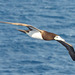 Brown Booby - 30 January 2014