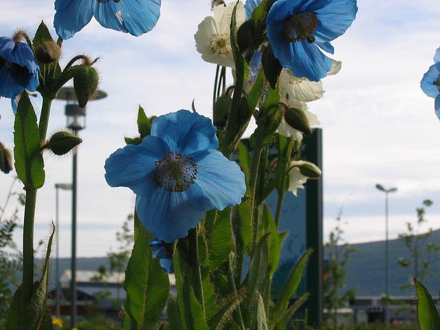 Bouquet bleu coquelicot  (Tromso)
