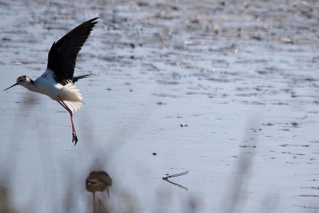 20110530 4517RTw [F] Stelzenläufer (Himantopus himantopus), Parc Ornithologique,   [Camargue]