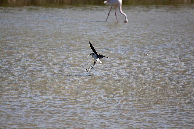 20110530 4507RTw [F] Flamingo (Phoenicopterus ruber), Stelzenläufer (Himantopus himantopus), Parc Ornithologique,   [Camargue]