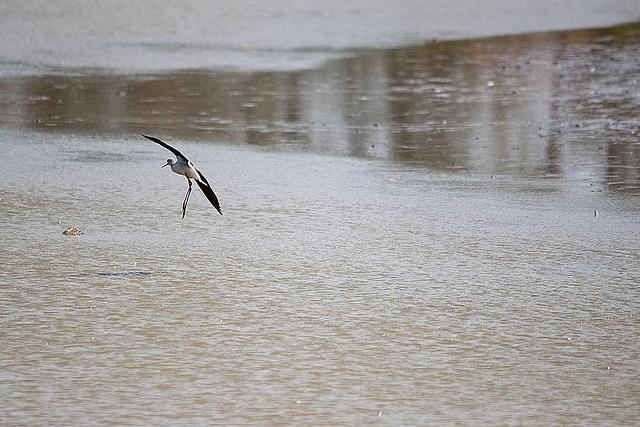20110530 4505RTw [R~F] Stelzenläufer (Himantopus himantopus), Parc Ornithologique,   [Camargue]