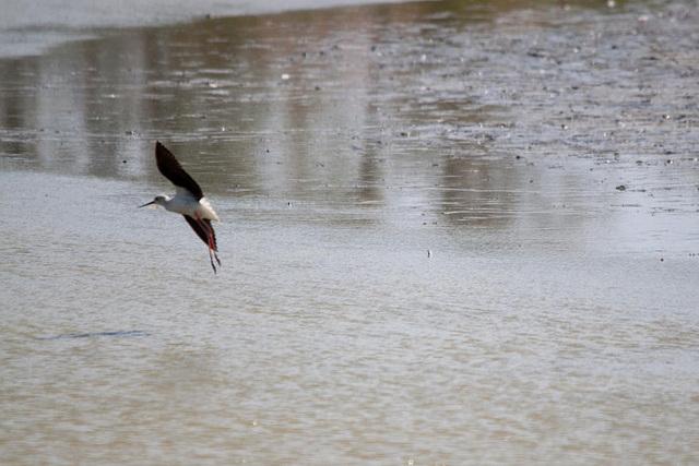 20110530 4503RTw [R~F] Stelzenläufer (Himantopus himantopus), Parc Ornithologique,   [Camargue]