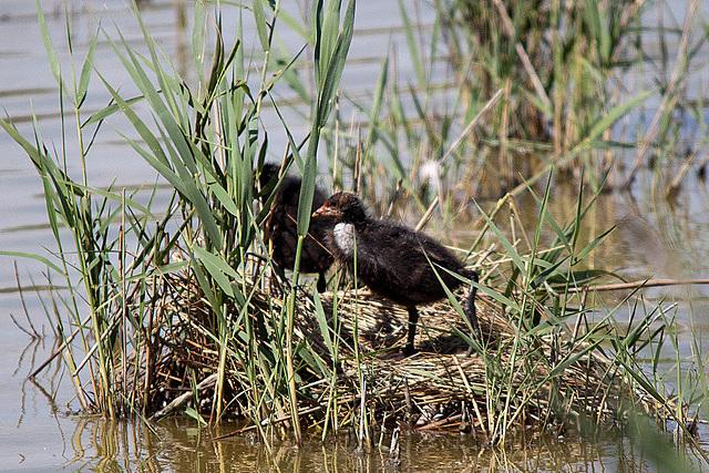 20110530 4497RTw Blässhuhn, Parc Ornithologique [Camargue]