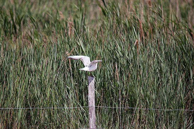 20110530 4495RTw [F] Lachmöwe (Chroicocephalus ridibundus), Parc Ornithologique [Camargue]
