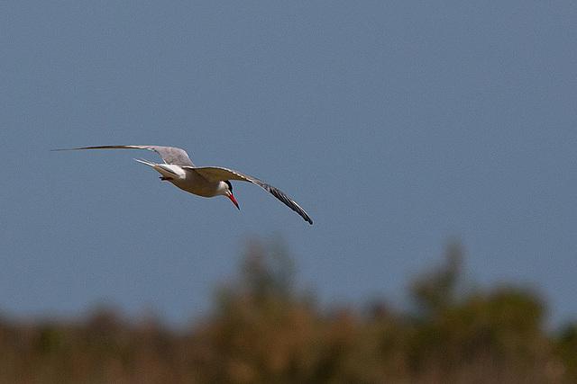 20110530 4494RTw [F] Seeschwalbe, Parc Ornithologique [Camargue]