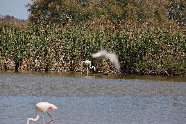 20110530 4492RTw [F] Rosaflamingo, Parc Ornithologique [Camargue]