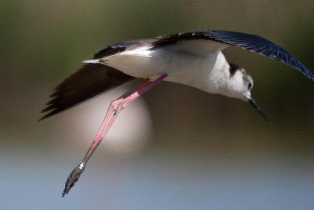 20110530 4490RTw [R~F] Stelzenläufer (Himantopus himantopus), Parc Ornithologique,   [Camargue]