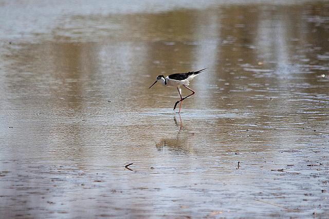 20110530 4489RTw [F] Stelzenläufer (Himantopus himantopus), Parc Ornithologique,   [Camargue]