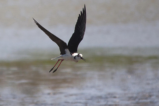 20110530 4485RTw [R~F] Stelzenläufer (Himantopus himantopus), Parc Ornithologique,   [Camargue]