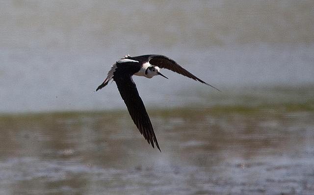 20110530 4484RTw [F] Stelzenläufer (Himantopus himantopus), Parc Ornithologique,   [Camargue]