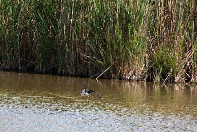 20110530 4483RTw [R~F] Stelzenläufer (Himantopus himantopus), Parc Ornithologique,   [Camargue]