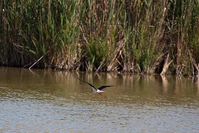 20110530 4482RTw [F] Stelzenläufer (Himantopus himantopus), Parc Ornithologique,   [Camargue]