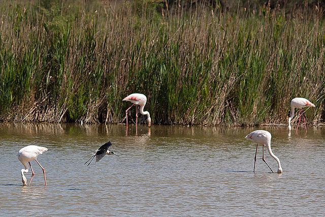20110530 4481RTw [F] Rosaflamingo (Phoenicopterus ruber), Stelzenläufer (Himantopus himantopus), Parc Ornithologique,   [Camargue]