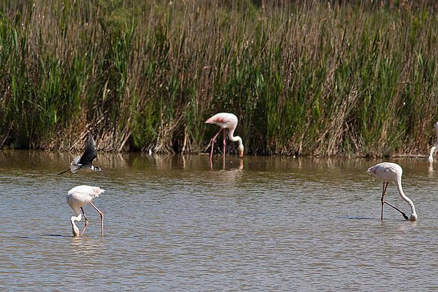 20110530 4480RTw [R~F] Flamingo (Phoenicopterus ruber), Stelzenläufer (Himantopus himantopus), Parc Ornithologique,   [Camargue]