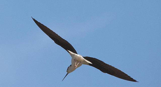 20110530 4479RTw S[R~F] Stelzenläufer (Himantopus himantopus), Parc Ornithologique,   [Camargue]