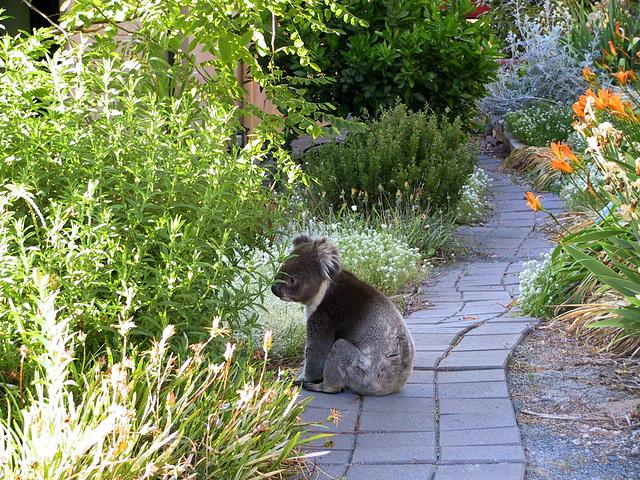 Pas un chien...koala dans mon jardin