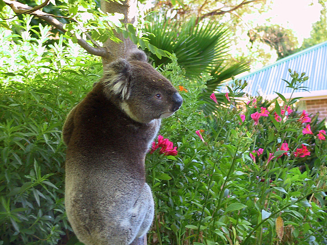 Koala in my garden