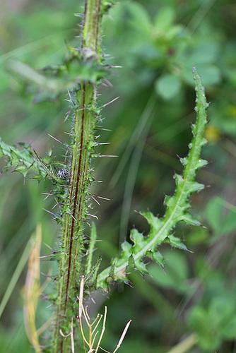 Cirsium palustre 2