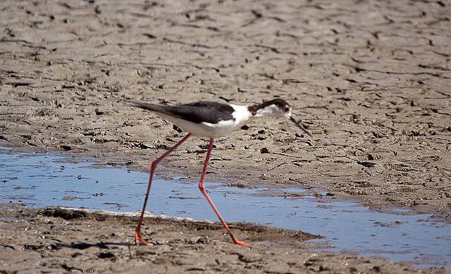 20110530 4475RTw [R~F] Stelzenläufer (Himantopus himantopus), Parc Ornithologique,   [Camargue]