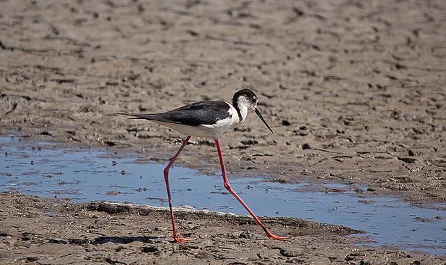 20110530 4474RTw [R~F] Stelzenläufer (Himantopus himantopus), Parc Ornithologique, [Camargue]