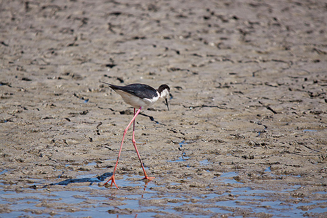 20110530 4473RTw [R~F] Stelzenläufer (Himantopus himantopus), Parc Ornithologique,   [Camargue]