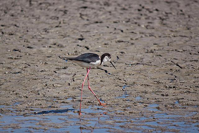 20110530 4472RTw [F] Stelzenläufer (Himantopus himantopus), Parc Ornithologique,   [Camargue]
