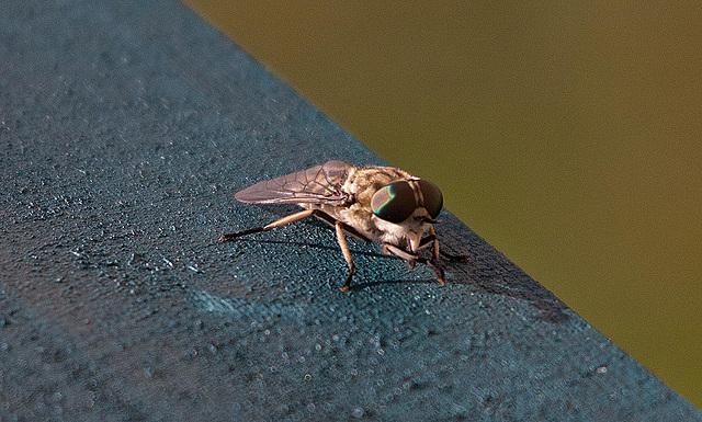 20110530 4463RTw [F] Bremse, Fliege, Parc Ornithologique [Camargue]