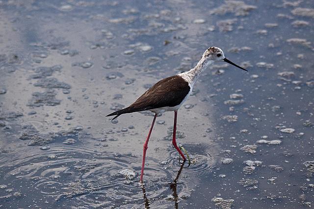 20110530 4459RTw [R~F] Stelzenläufer (Himantopus himantopus), Parc Ornithologique,   [Camargue]
