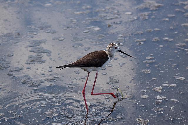 20110530 4458RTw [F] Stelzenläufer (Himantopus himantopus), Parc Ornithologique,   [Camargue]