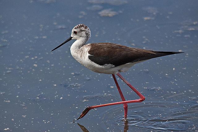 20110530 4457RTw [F] Stelzenläufer (Himantopus himantopus), Parc Ornithologique, [Camargue]