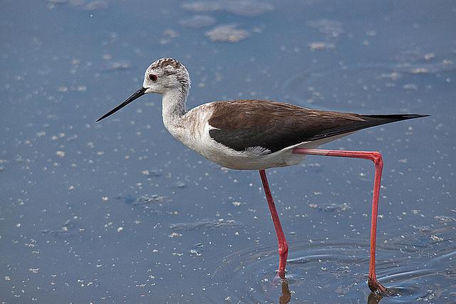 20110530 4456RTw [F] Stelzenläufer (Himantopus himantopus), Parc Ornithologique, [Camargue]